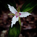 The Painted Trillium by David Patterson