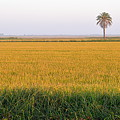 The Palm Tree In The Rice Fields by AJ Schibig