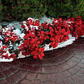 The Path To Christmas - Poinsettias, Trees, Snow, And Walkway by Mitch Spence