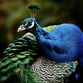 The Peacock - 365-320 by Inge Riis McDonald