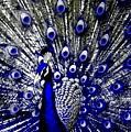 The Peacock Fan by Frank Berko