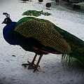 The Peacock In The Royal Garden In Winter by Aleksei Musikhin