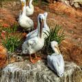 The Pelican Clan by Saija  Lehtonen