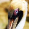The Pelican Look by David Coleman