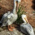 The Pelicans by Saija  Lehtonen