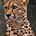 The Pensive Cheetah by Chris Lord