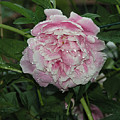 The Peony In Mears Park On A Rainy Day by Janis Beauchamp
