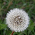 The Perfect Dandelion by DeeLon Merritt