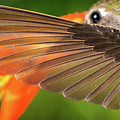 The Perfect Left Wing Of A Hummingbird by William Freebilly photography
