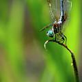 The Performer Dragonfly Art by Reid Callaway