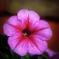 The Petunia by Robert Bales