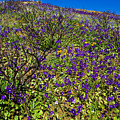 The Phacelia Patch by Greg Clure