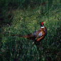 The Pheasant In The Autumn Colors by Angel Ciesniarska