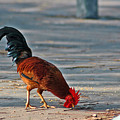 The Picking Rooster by Susanne Van Hulst
