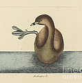 The Pied-billed Dobchick (colymbus Podiceps) by Mark Catesby