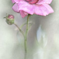 The Pink Rose by David and Carol Kelly