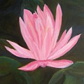 The Pink Water Lily by Sally Jones