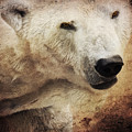 The Polar Bear by Angela Doelling AD DESIGN Photo and PhotoArt