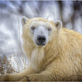 The Polar Bear Stare by LeeAnn McLaneGoetz McLaneGoetzStudioLLCcom