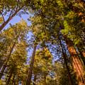 The Portola Redwood Forest by Bryant Coffey