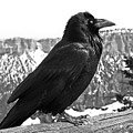 The Raven - Black And White by Rona Black
