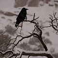 The Raven by Tranquil Light  Photography