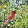 The Red Cardinal by Judy Kay