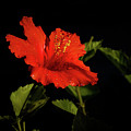 The Red Hibiscus by Robert Bales
