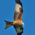The Red Kite - Milvus Milvus by Martyn Arnold