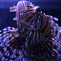 The Red Lionfish by Selena Wagner