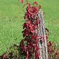 The Red Vine - Photograph by Jackie Mueller-Jones