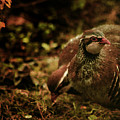 The Redlegged Partridges by Angel Ciesniarska