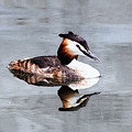 The Reflection Of A Grebe by Martin Newman