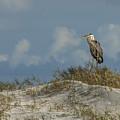 The Regal Great Blue Heron by Paula Porterfield-Izzo
