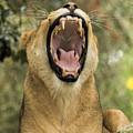 The Roaring Lion by Paula Porterfield-Izzo