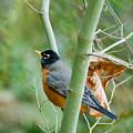 The Robin by Joel Brady-Power