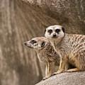 The Rock Of Meerkats by Chad Davis