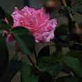 The Rose by Alice Irungu