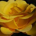 The Rose by Carol  Eliassen
