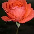 The Rose by Navin Singhwane
