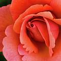 The Rose by Steven Clark