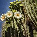 The Saguaro Cactus  by Saija Lehtonen