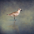 The Sanderling 2 By Darrell Hutto by J Darrell Hutto