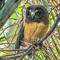 The Savvy Saw-whet by Yeates Photography
