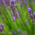The Scent Of Lavender by Harriet Feagin