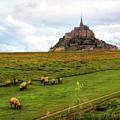The Sheep Of Mont Saint Michel by Diana Haronis