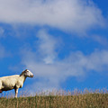 The Sheep On The Dike by Angela Doelling AD DESIGN Photo and PhotoArt