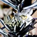 The Shy Desert Lily by Chris Brannen