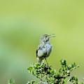 The Singing Birdie  by Jeff Swan
