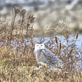 The Snowy Owl by Dan Sproul